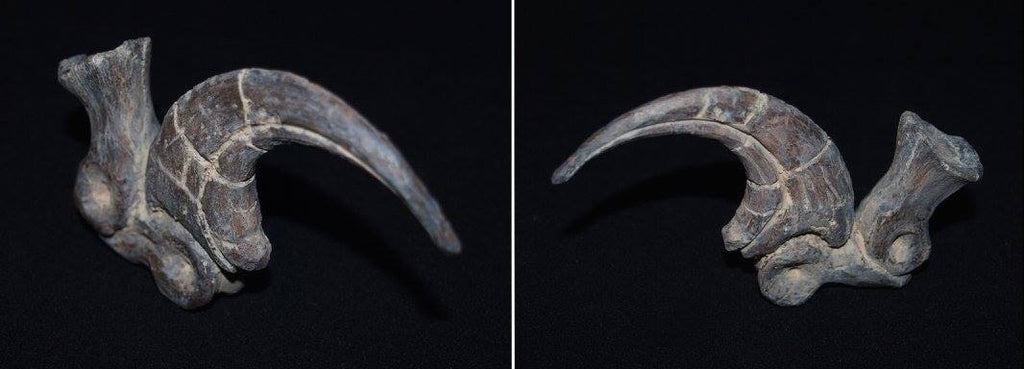 Painted Triassica Deinonychus Claw by Victoria Barron Art