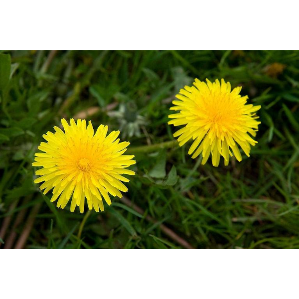 Dandelion Wine Ingredient Kit