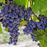 Red Alicante Grape