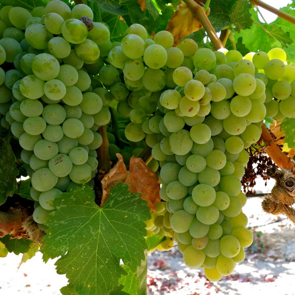 White Chardonnay Grape