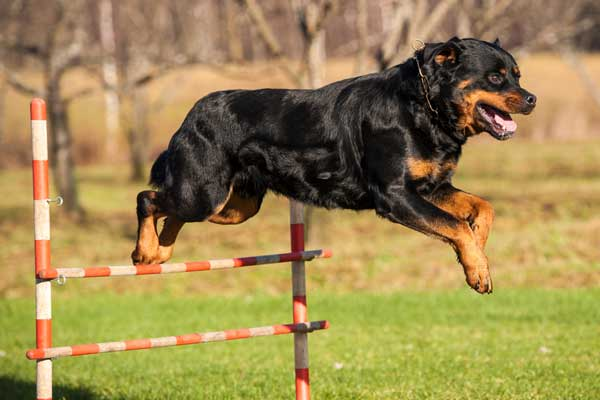 Rottweiler - Facts you probably didnt know 2 Pawsindia