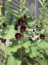 Load image into Gallery viewer, Hollyhock Seeds