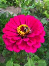 Load image into Gallery viewer, Zinnia Seeds