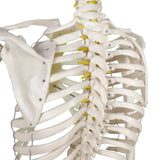 ZENY™  Life Size Medical Anatomical Human Skeleton Model with Rolling Stand