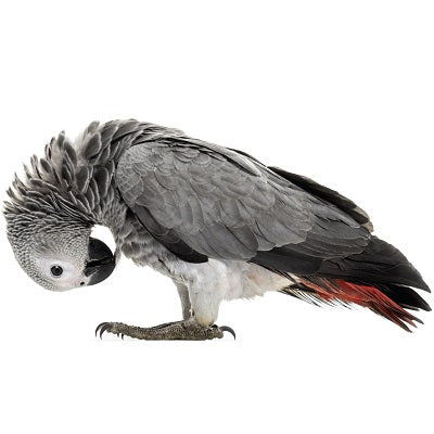 african grey parrot bird cage