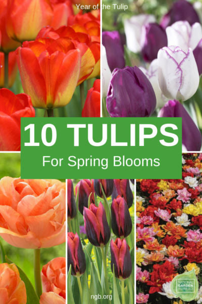 10 New Tulips to plant for next spring