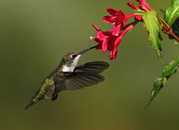 Bird of the Month -  Ruby-Throated Hummingbird!