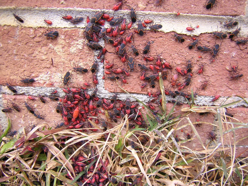 Box Elder Bugs! What are they?