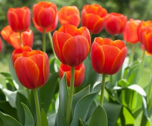 Did you know that there is over 150 species of tulips?
