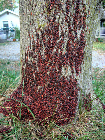 Boxelders on Tree