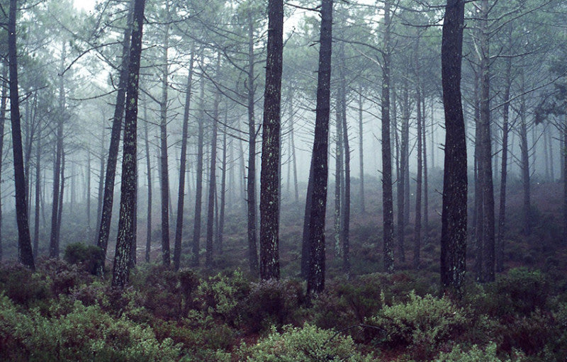 Early morning forest near Nazare.