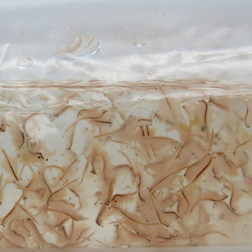 Live Brine Shrimp-Reefphyto Ltd