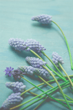 Avant Debut | Grape Hyacinth by Olivia St. Claire Digital Art and Art Prints