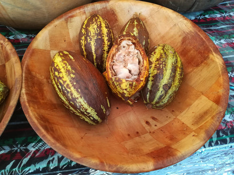 Opened Cacao pod. The white coating the beans is the sweet Cacao pulp.