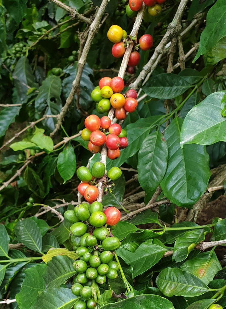 Coffee Species in Danger of Extinction