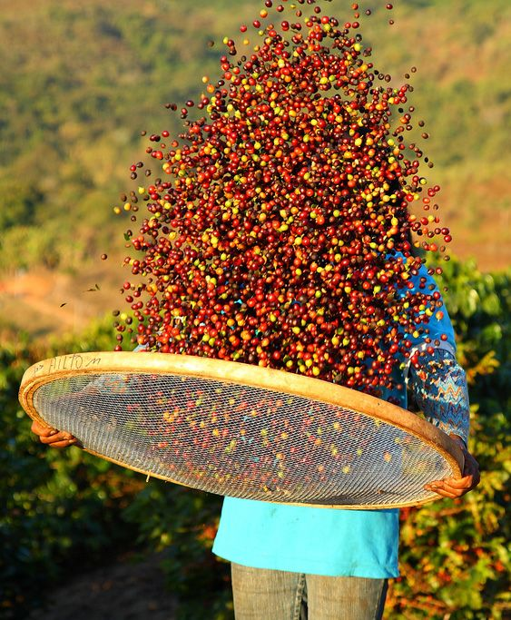 The impact global coffee prices are having on farmers.