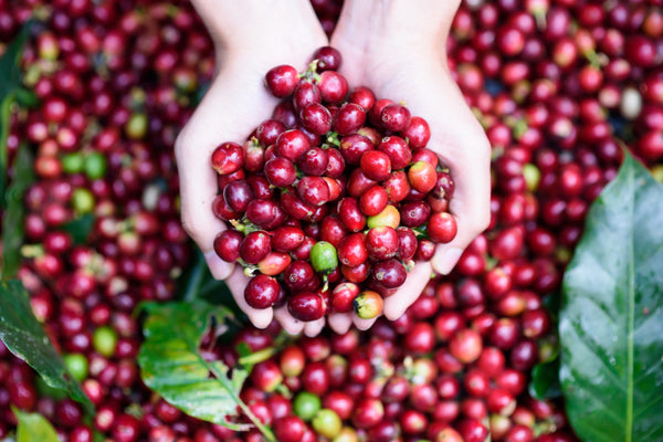 Seed to Cup - The Process of the Coffee Bean