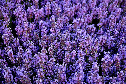 2014 Study shows vaping lavender oil may help to reverse diabetes