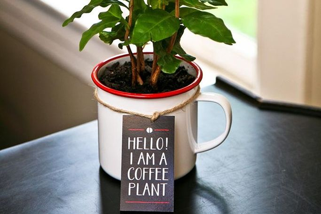How to Grow a Coffee Tree