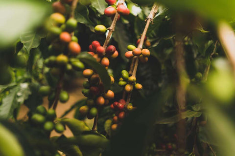 coffee beans growing in the rainforest