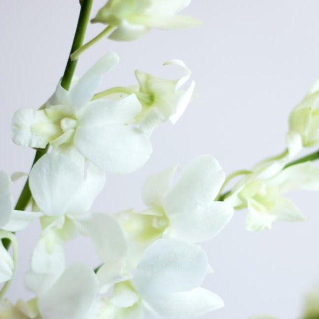 White Dendrobium Orchid Flower