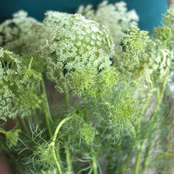 white queen annes lace