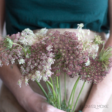 Chocolate Queen Annes Lace flower