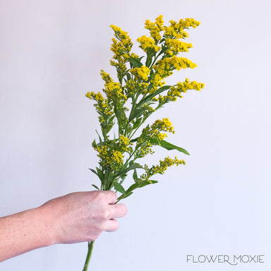 yellow solidago flower