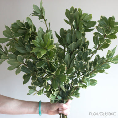 Variegated Pittosporum Greenery