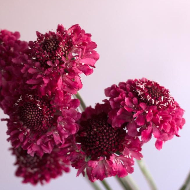 Raspberry Scabiosa Flower