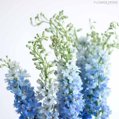 light blue delphinium Flower