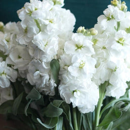 White Stock Flower