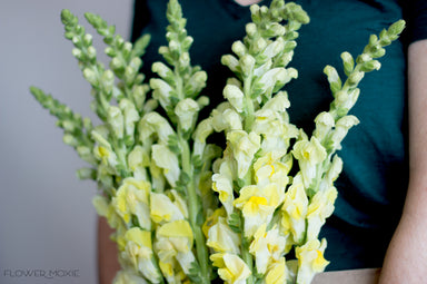Yellow Snapdragons