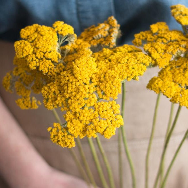 Yellow Yarrow Flower