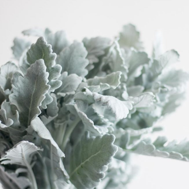 Dusty Miller Greenery