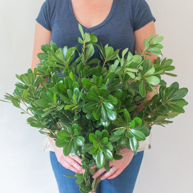 Pittosporum Greenery