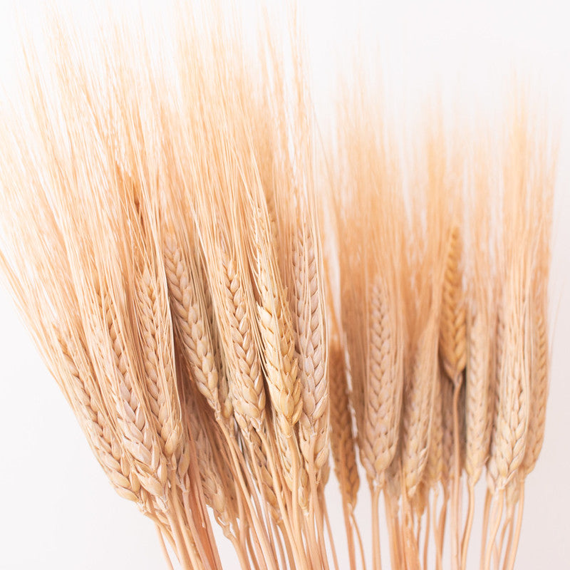Dried Natural Wheat Triticum