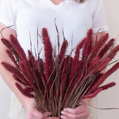 Dried Burgundy Setaria Millet Foxtail Grass
