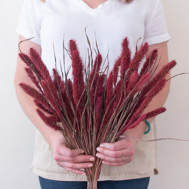 Dried Burgundy Setaria Grass