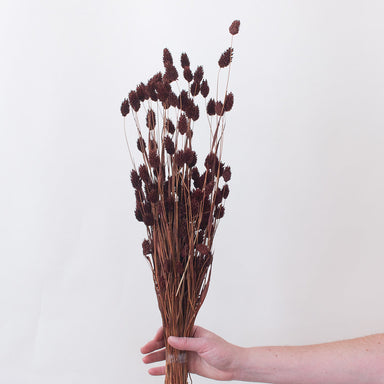 Dried Chocolate Phalaris Grass