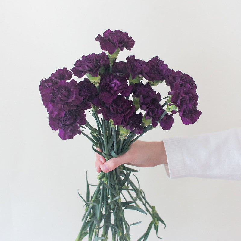Dark Purple Carnation Flower