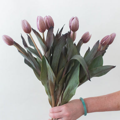 Brownie Mauve Tulips