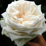 White Garden Rose- Romeo, 12 stems