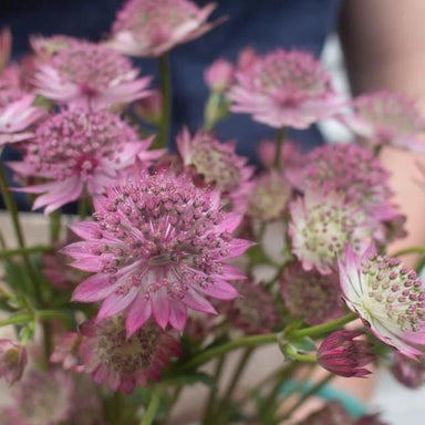 Pink Astrantia Flower