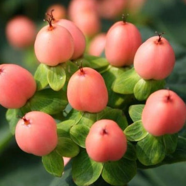 peach hypericum berries