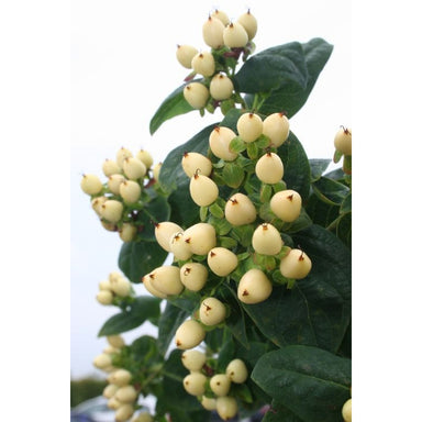 Cream White Hypericum Berries