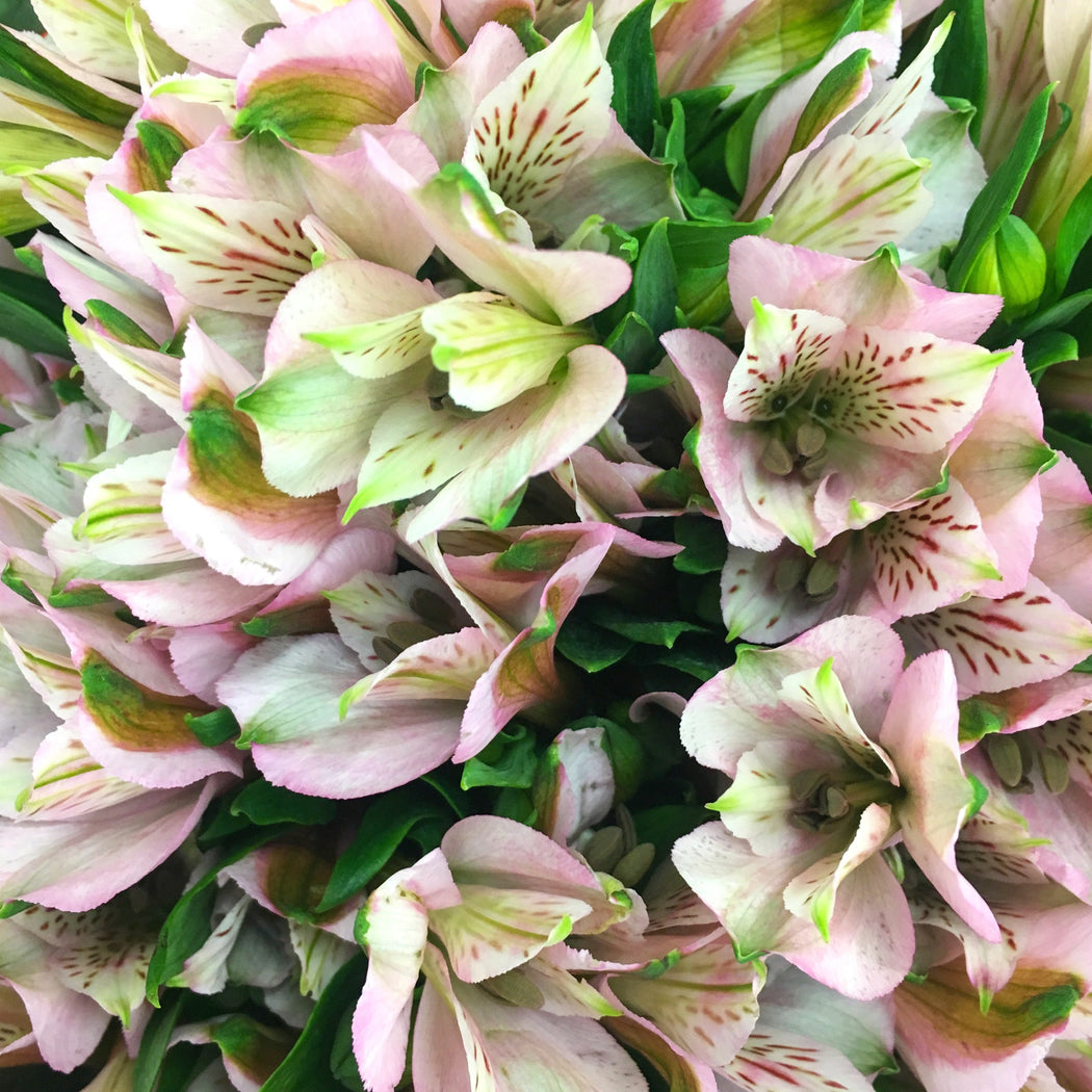 Alstroemeria- Light Pink