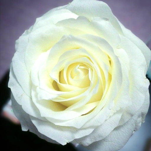 Proud rose | white rose | cream rose | DIY bride | DIY flower ideas | DIY wedding ideas | DIY bouquet ideas | DIY bridesmaid | DIY bridal bouquet ideas | flower moxie | wedding ideas | bridesmaid ideas | how to save money wedding