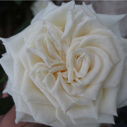 Romeo garden rose | flower moxie | ohara garden rose | romeo rose | white rose | cream rose | ivory rose | DIY bride | DIY flower ideas | DIY wedding ideas | DIY bouquet ideas | DIY bridesmaid | DIY bridal bouquet ideas | flower moxie | wedding ideas | bridesmaid ideas | how to save money wedding