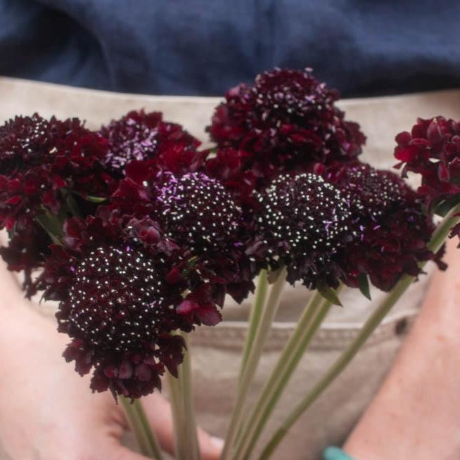 Dark Burgundy Scabiosa Flower